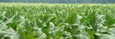Just reading about this makes me tired – tobacco farming was hard work!