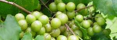 Have you ever tasted a scuppernong?