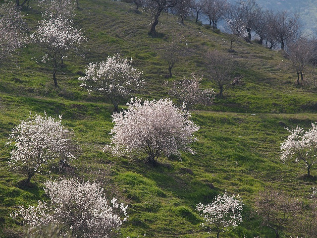 Flowering_almond_trees