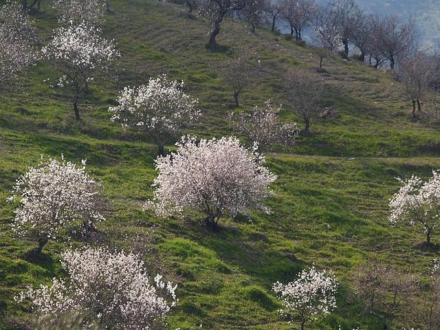 Flowering_almond_trees