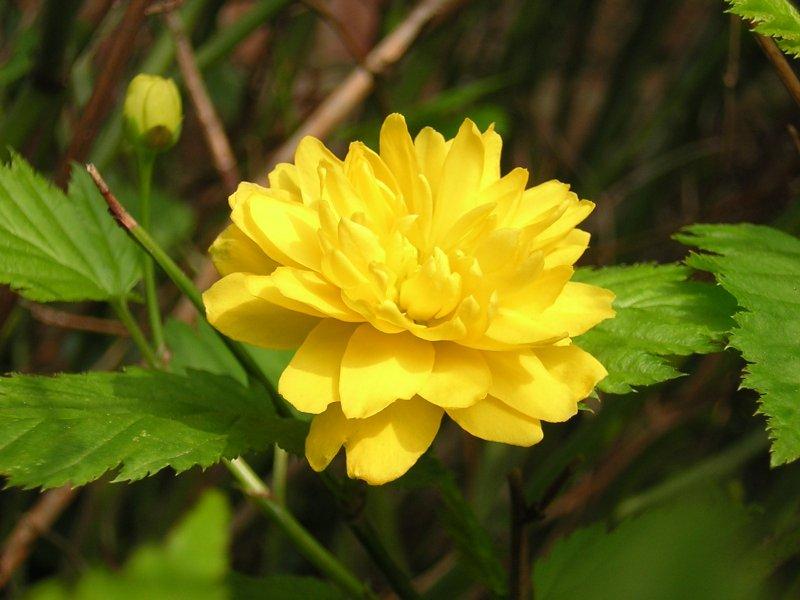 Kerria_japonica_-_flower