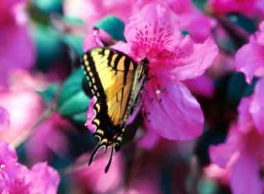 azalea and butterfly