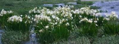 Have you ever seen the Cahaba Lily in bloom? You shouldn't miss it next time [pictures & video]