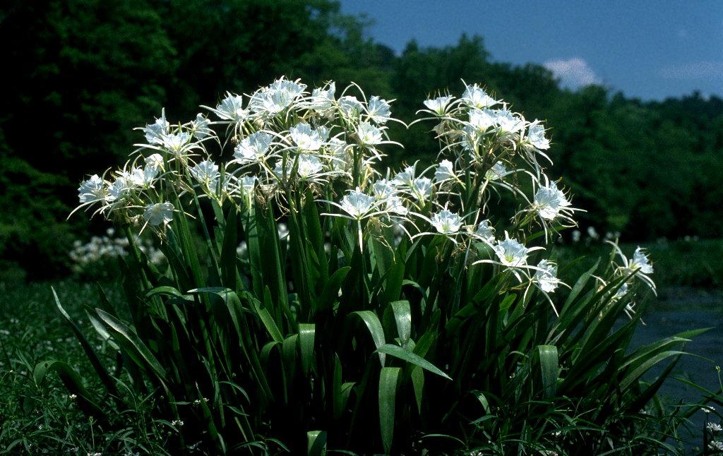 cahaba lily2