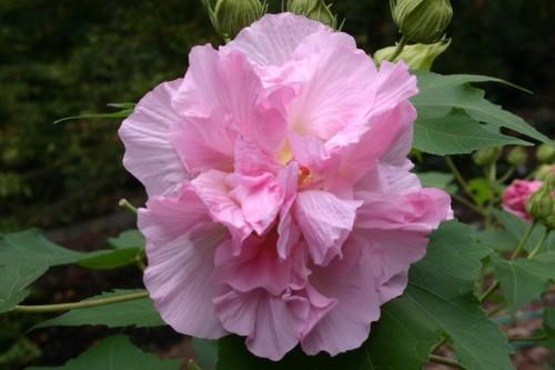 confederate-rose-pink-500x333