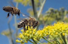 Did you know that honeybees have not always been prevalent in Alabama?