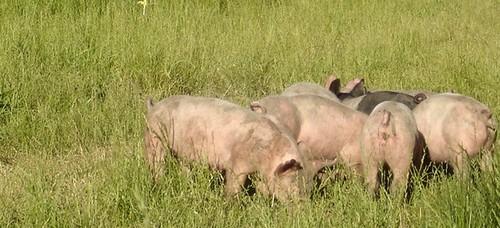 pigs pasture