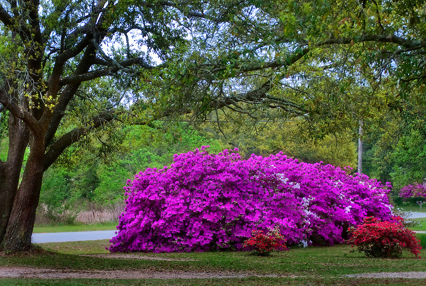 Azaleas in mobile older than the state photographs and for The azalea