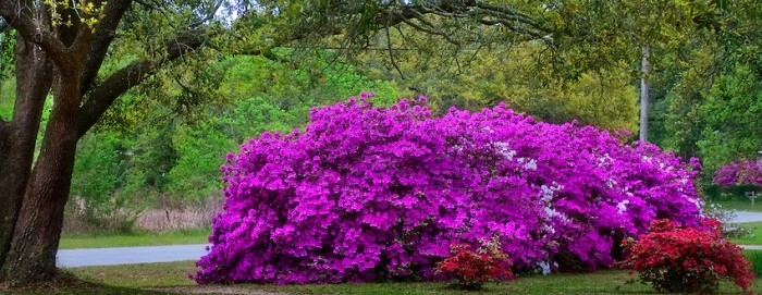 Azaleas in Mobile, older than the state [photographs and video]