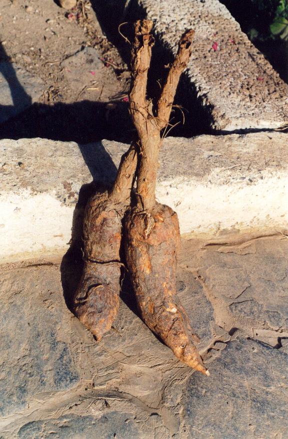 Mandrake-roots