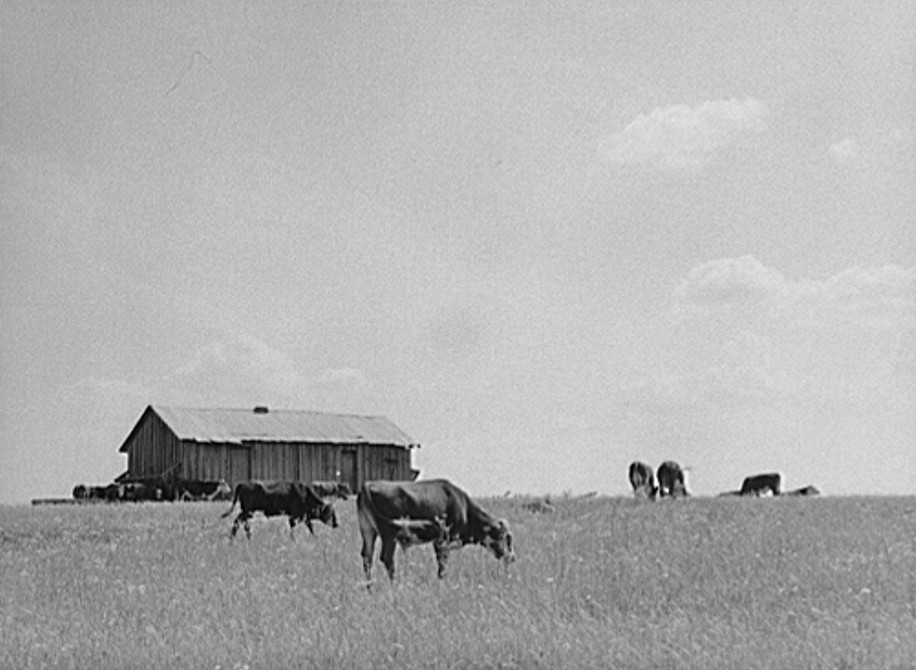 Cattle grazing in the Black Prairie regions. Barn in background was sharecroppers cabin. Hale County, Alabama 1941 jack delano