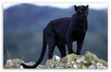 The Last Panther in Alabama – or was he?