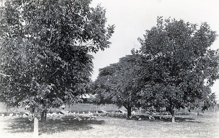 Pecan grove and chickens in Barbour County, Alabama 1941 (Alabama Department of Archives and History)