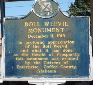 boll weevil2