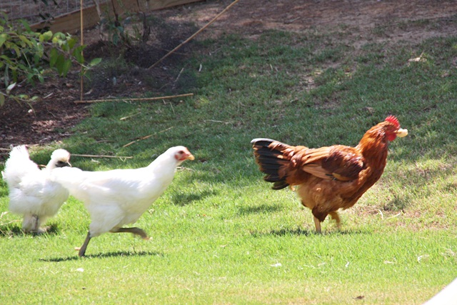 chicken running