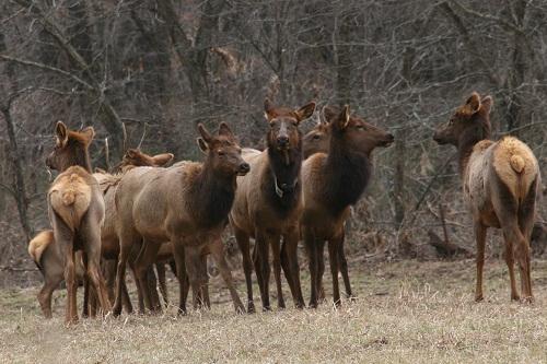 elk young2