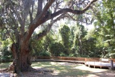 Jackson's Oak – can you imagine the stories it could tell?