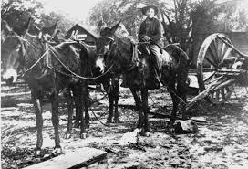 mule pulling logs