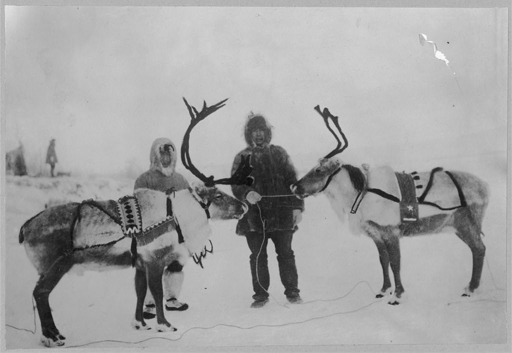 Reindeer saddled. ca. 1900 library of Congress