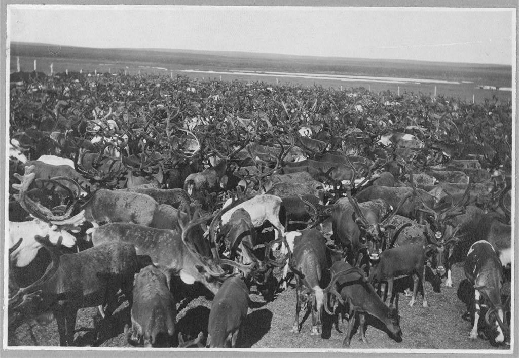 reindeer herd ca. 1900 library of congress