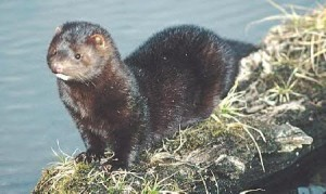 Mink (from trappingtoday.com)