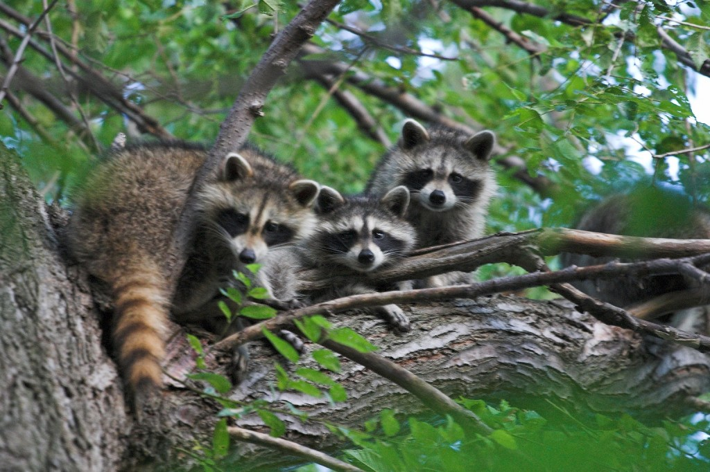 Three_raccoons_in_a_tree coonsboro article