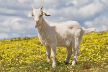 Loud Goats a problem in Birmingham – read about a planned solution