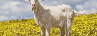 PATRON - Loud Goats a problem in Birmingham - read about a planned solution