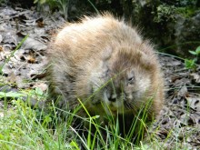 RECIPE WEDNESDAY: Get a muskrat skin and wear it over the lungs?
