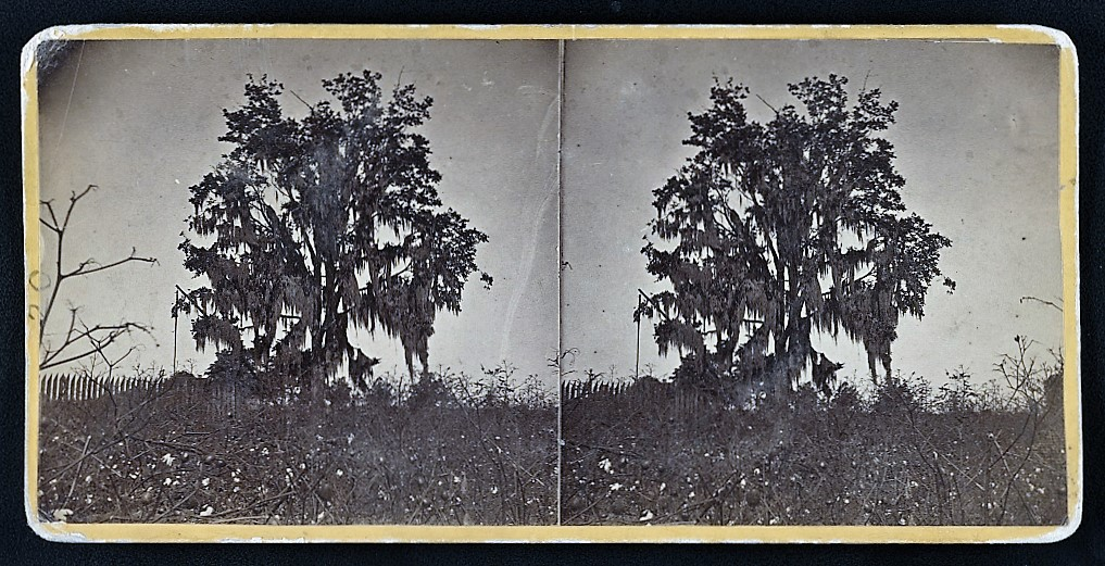 Stereograph shows tree covered with Spanish moss and cotton plants in the foreground