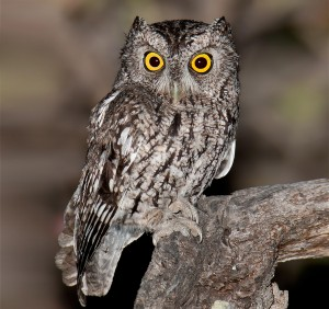 Whiskered Screech Owl (www.audubon.org)