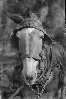 PATRON + MONDAY MUSINGS: Mules were valuable to many Alabama farmers – here is why