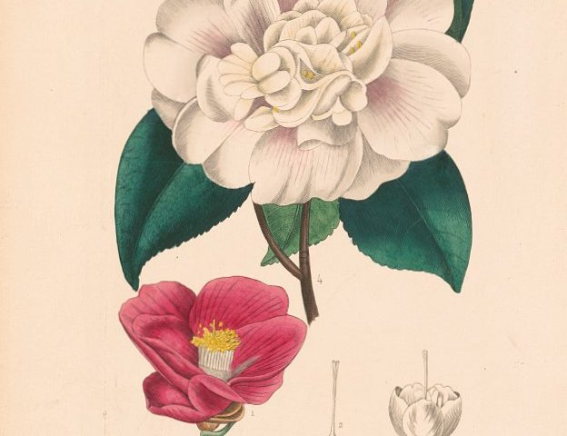 PATRON  +  Immigrant introduces Japanese camellias from wife's dowry to Mobile in 1917
